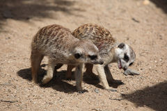 Meerkat (suricatta Suricata) Стоковое Изображение RF