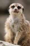 Meerkat (Suricatta suricatta) Royalty Free Stock Images