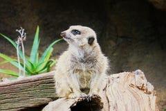 Meerkat Surikate нашло в зоопарке Мельбурна, Австралии стоковая фотография