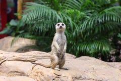 Meerkat (Surikate)在动物园里发现了 库存照片