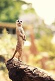 Meerkat (Surikate) 库存照片