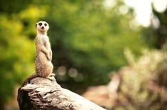 Meerkat (Surikate) Image libre de droits