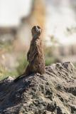 Meerkat或Surikate 库存图片
