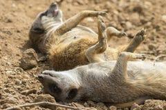 Meerkat (Surikate) 图库摄影