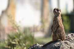 Meerkat or Surikate Stock Photography