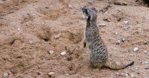 Meerkat surikate bevindende wacht stock footage