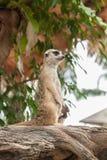 Meerkat (Surikate) Royalty Free Stock Images