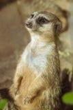 Meerkat (Surikate) che sta sulle sue gambe posteriori nel parque di Loro, dieci Fotografia Stock