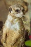 Meerkat (Surikate) che sta sulle sue gambe posteriori nel parque di Loro, dieci Fotografie Stock