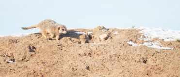 Meerkat Surikate on guard duty Stock Images