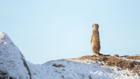 Meerkat Surikate on guard duty Stock Photos