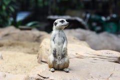 Meerkat (Surikate) ha trovato in zoo Fotografia Stock