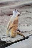 Meerkat (Surikate) Royalty Free Stock Photo