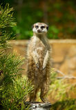 Meerkat Surikate standing on a woon near tree Stock Photography