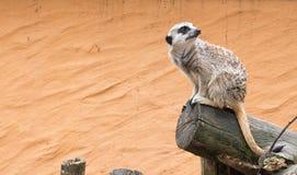 Meerkat sveglio che posa per noi fotografia stock libera da diritti