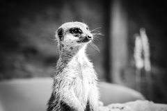 Meerkat. Taken in Cologne Zoo, Germany in 2014 Royalty Free Stock Image