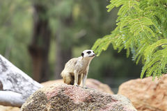 Meerkat. From Taronga zoo in Sydney. This city zoo was opened at 1916 and now has more than 4000 animals Stock Images