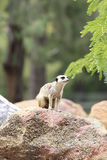Meerkat. From Taronga zoo in Sydney. This city zoo was opened at 1916 and now has more than 4000 animals Stock Photography