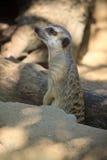 meerkat ter plaatse Stock Foto