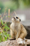 Meerkat in Thailand. This is Meerkat when it saw something at Khoakeaw, Sriracha Chonburi royalty free stock photo