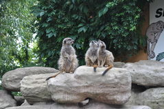 Meerkat. Three suricate sitting on a rock stock photo