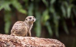 Meerkat. Travel Asia, wildlife, meerkat sitting on the log Stock Images