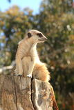 Meerkat on a tree stump Stock Images