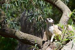 Meerkat in a tree Stock Photography