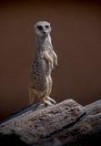 Meerkat trwanie sentry Obrazy Royalty Free