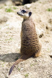 Meerkat with turned head Stock Photography