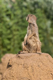 Meerkat turning back Royalty Free Stock Photo