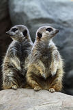 Meerkat Twins Royalty Free Stock Photos