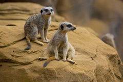 Meerkat 3 Royalty Free Stock Image
