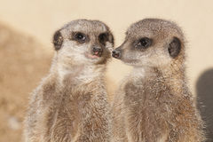 Meerkat. Two meerkats watching there surroundings Stock Image