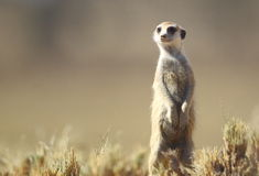 Meerkat. A meerkat in typical pose in the kalahari Royalty Free Stock Images
