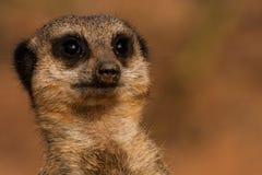Meerkat-Uhr lizenzfreie stockfotografie