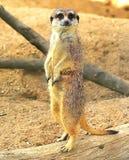 Meerkat-Uhr Stockfotografie