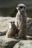 Meerkat und Satz (Suricata suricatta) Stockfotografie