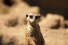 Meerkat. Up close view royalty free stock photos