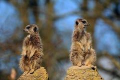 Meerkat utkik Royaltyfria Bilder