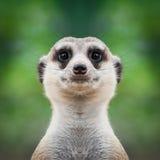 Meerkat vänder mot tätt upp Royaltyfri Foto