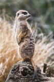 Meerkat vaktpost Royaltyfria Bilder