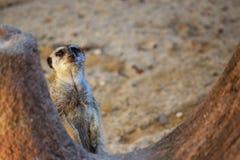 Meerkat Verstecken lizenzfreies stockbild