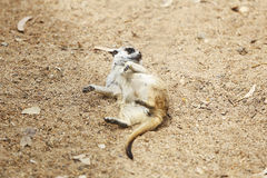 Meerkat. View at meerkat lying on the ground Royalty Free Stock Image