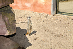 Meerkat vigilante, Suricata immagine stock libera da diritti