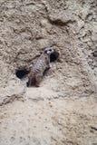 Meerkat vor Nest Stockbild