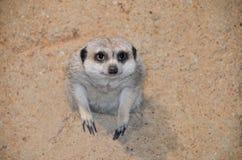 Meerkat w dziurze Zdjęcie Royalty Free