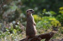 Meerkat-Wache, die an der Aufmerksamkeit steht stockbilder