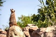 Meerkat-Wachposten Stockfotografie