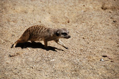 Meerkat walks with caution Royalty Free Stock Photography